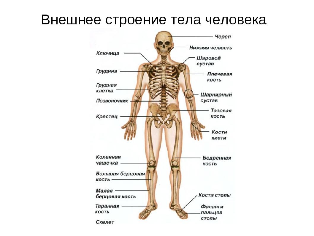 (ПИЯФ) один часть человеческого тела из 3 букв информация